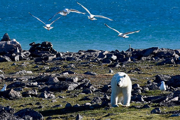 polar bear with birds flying above
