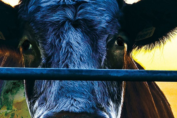 Cow looking through fence: still from film Cowspiracy