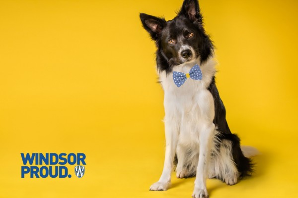 Dog wearing blue and gold bowtie