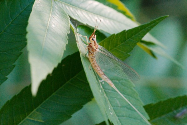 Dr. Kenneth Drouillard, professor at the University of Windsor's Great Lakes Institute for Environmental Research, explains why the emergence of mayflies can be an indication of lake health.