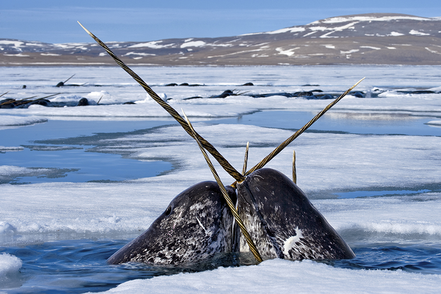 Several narwhal portruding through ice