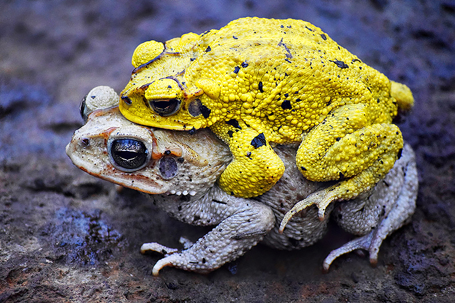 photo of neotropical toad