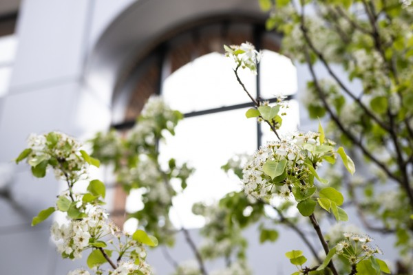 The pear trees in the court yard at UWindsor's School of Social Work and the Centre for Executive and Professional Education are in full bloom. The trees serve as an homage to the Jesuit pear trees that once grew in the region.