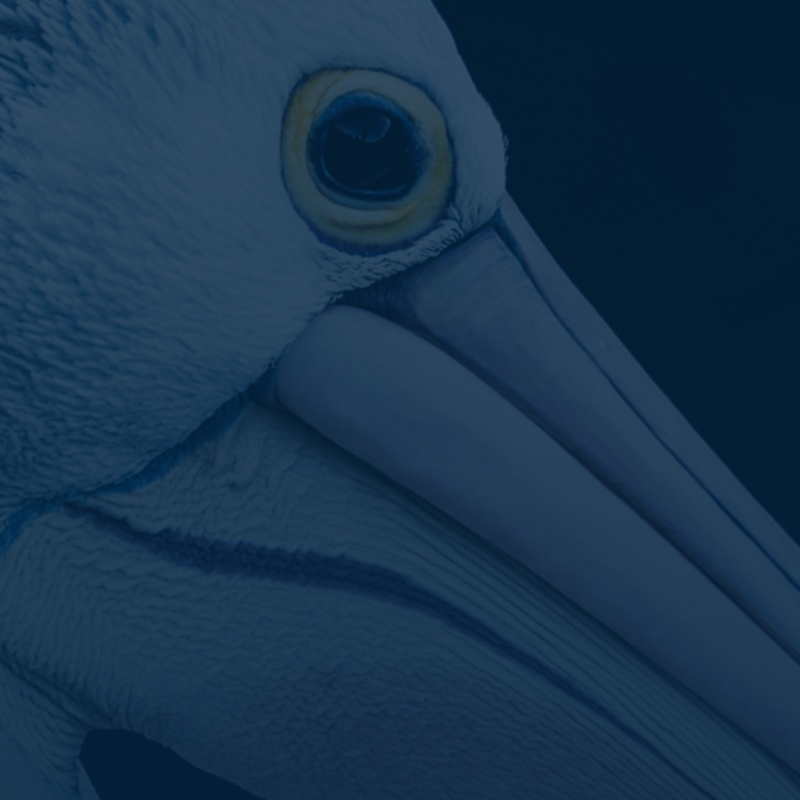 Detailed image of a stoic heron's face, and particularly eye, overcast with shades of UWindsor blue
