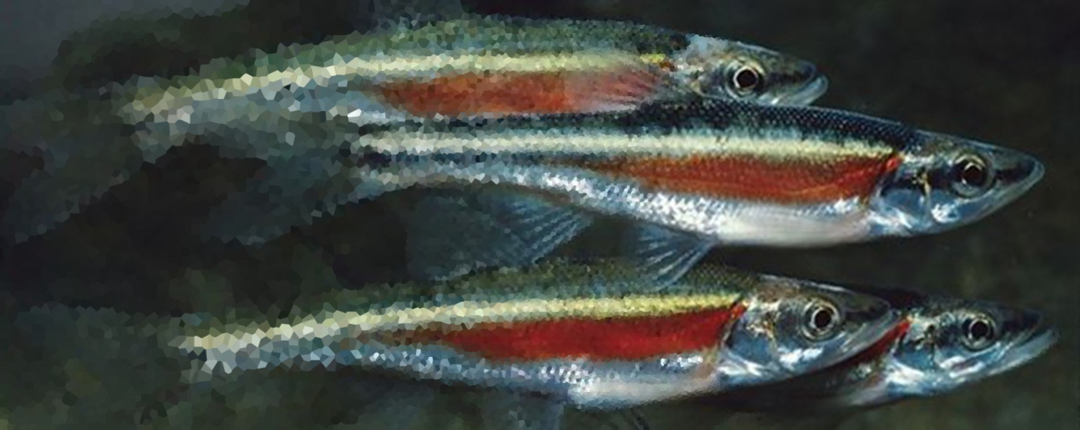 red-sided dace