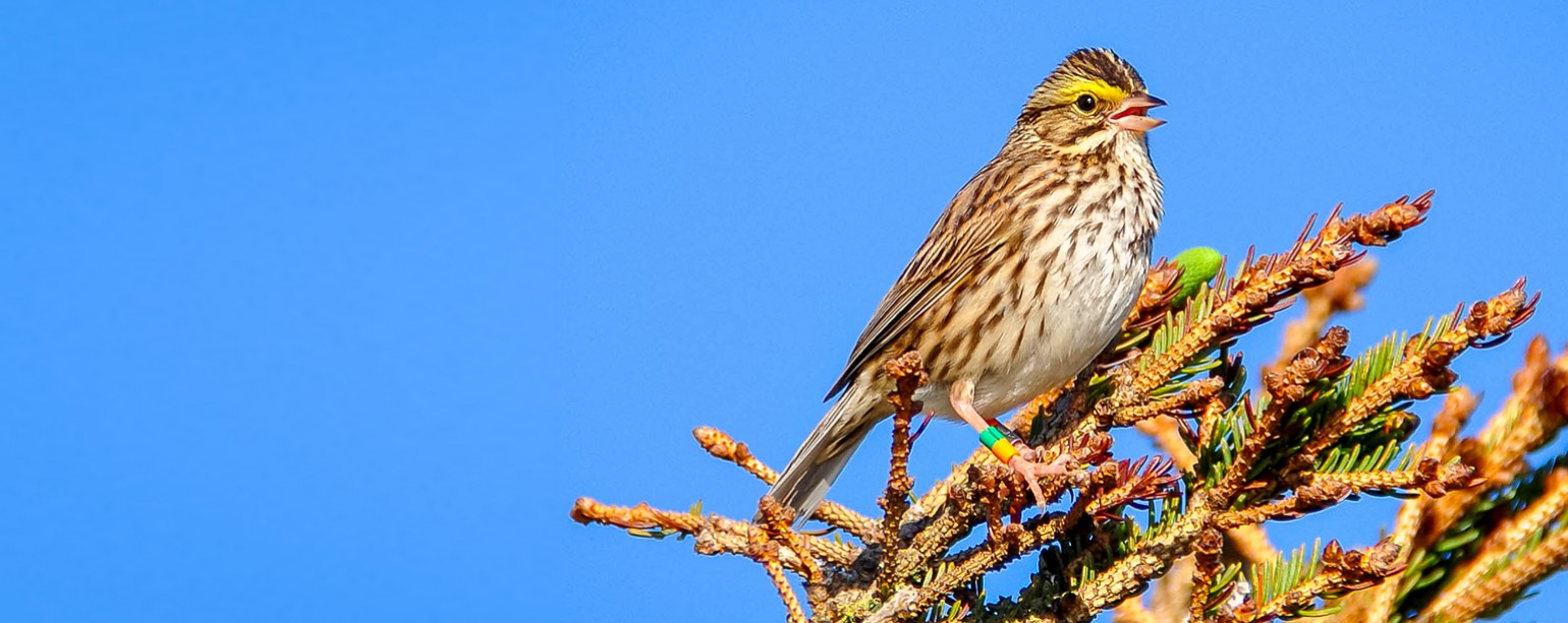 savannah sparrow perched