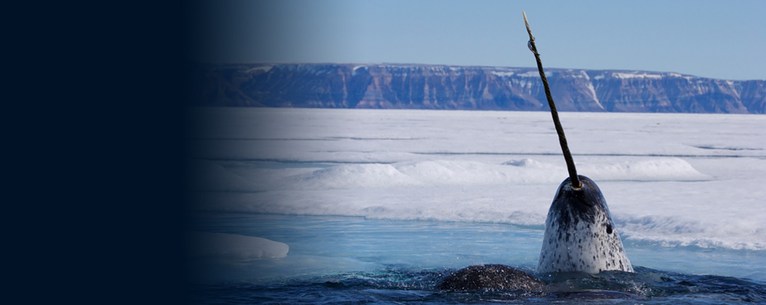 narwhal breaking through surface ice