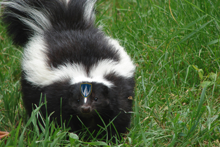 Skunk wearing Lancer shield on face