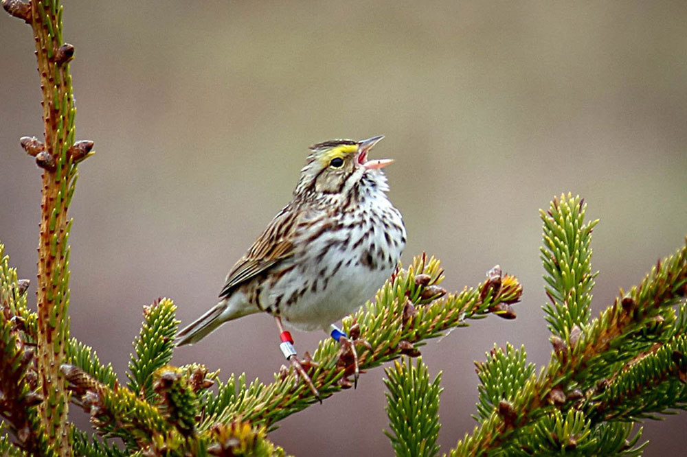 A Savannah Sparrow is pictured on Kent Island.